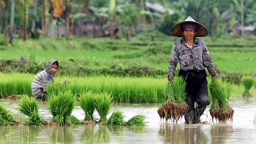 Top 10 largest Rice producers in the world