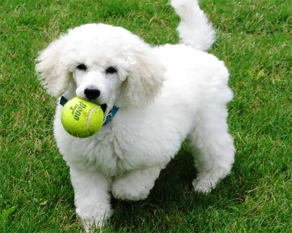 Top 10 Most Popular Dogs | Dog Breeds Picture